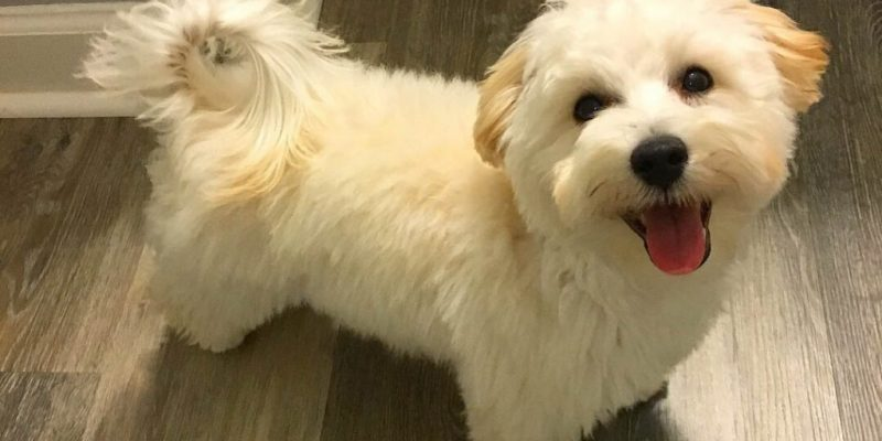Man reportedly steals two Maltipoo puppies after responding to ad – SFBay