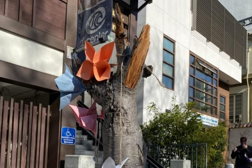 Supervisor Calls For Replacement Of Vandalized Cherry Blossom Trees Sfbay